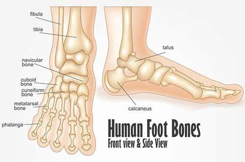 Foot Fractures Diagram